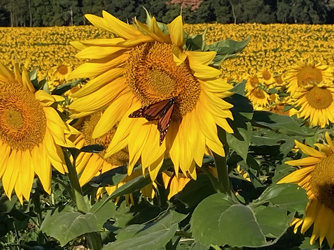 This is a picture of a monarch butterfly perched on a sunflower