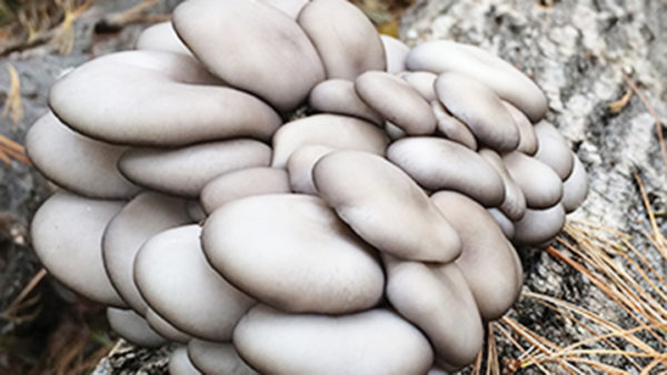 This is a picture of an oyster mushroom log.